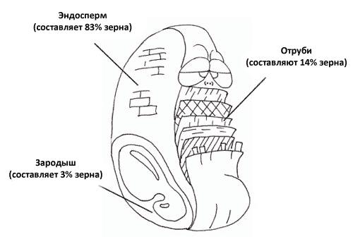 Анатомия злаков